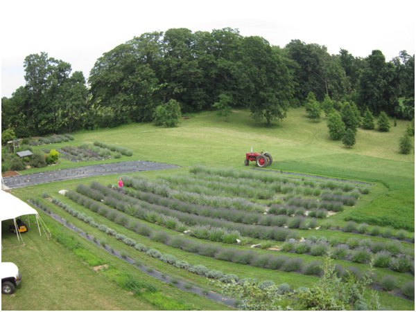 Evergreen Lavender Farm