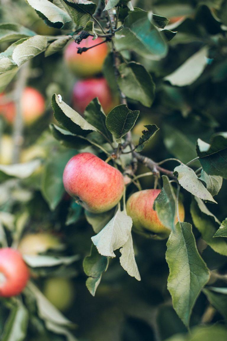 Apple Picking in Virginia   Best Apple Butter Recipe